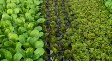 hydroponic_vegetables_lettuce