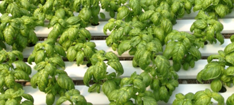 hydroponic_vegetables_lettuce2