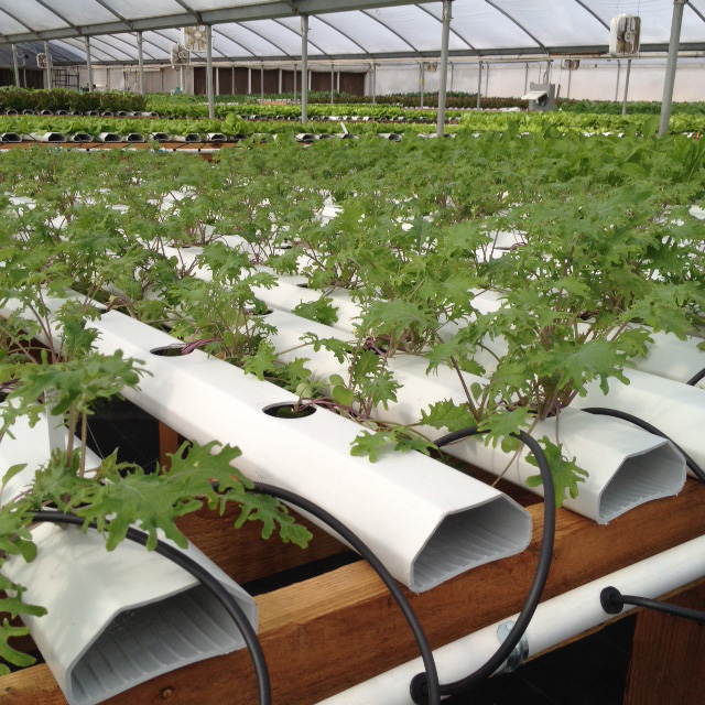 hydroponic_vegetables_lettuce3